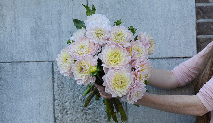Bouquet de Dahlias